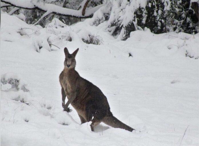 На південному сході Австралії випав сніг